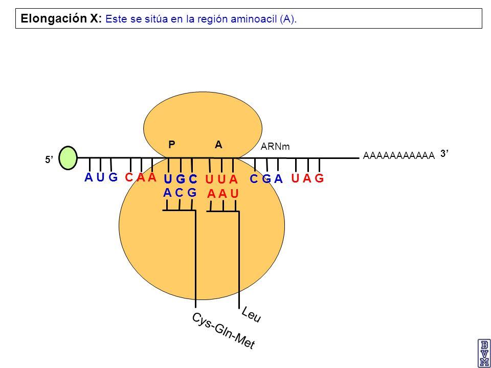 Elongación X: Este se sitúa en la región aminoacil (A).