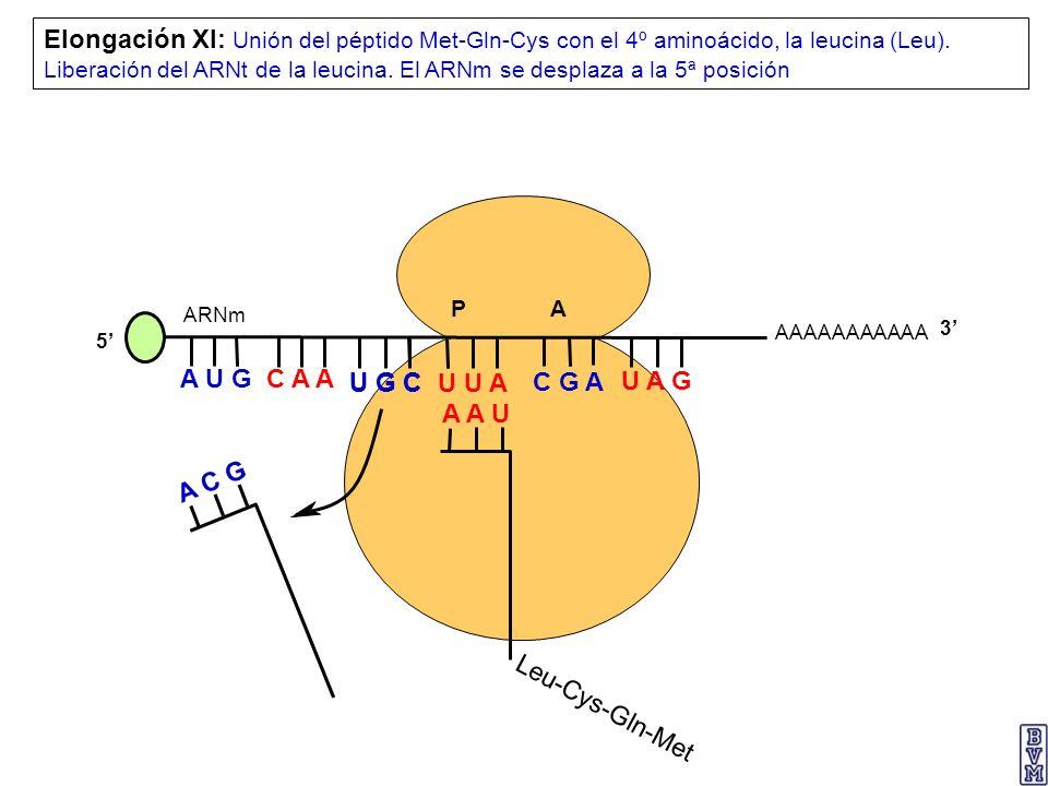 Elongación XI: Unión del péptido Met-Gln-Cys con el 4º aminoácido, la leucina (Leu). Liberación del ARNt de la leucina. El ARNm se desplaza a la 5ª posición