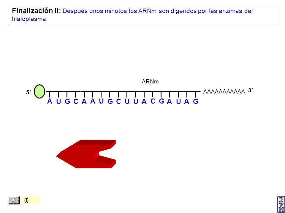 Finalización II: Después unos minutos los ARNm son digeridos por las enzimas del hialoplasma.