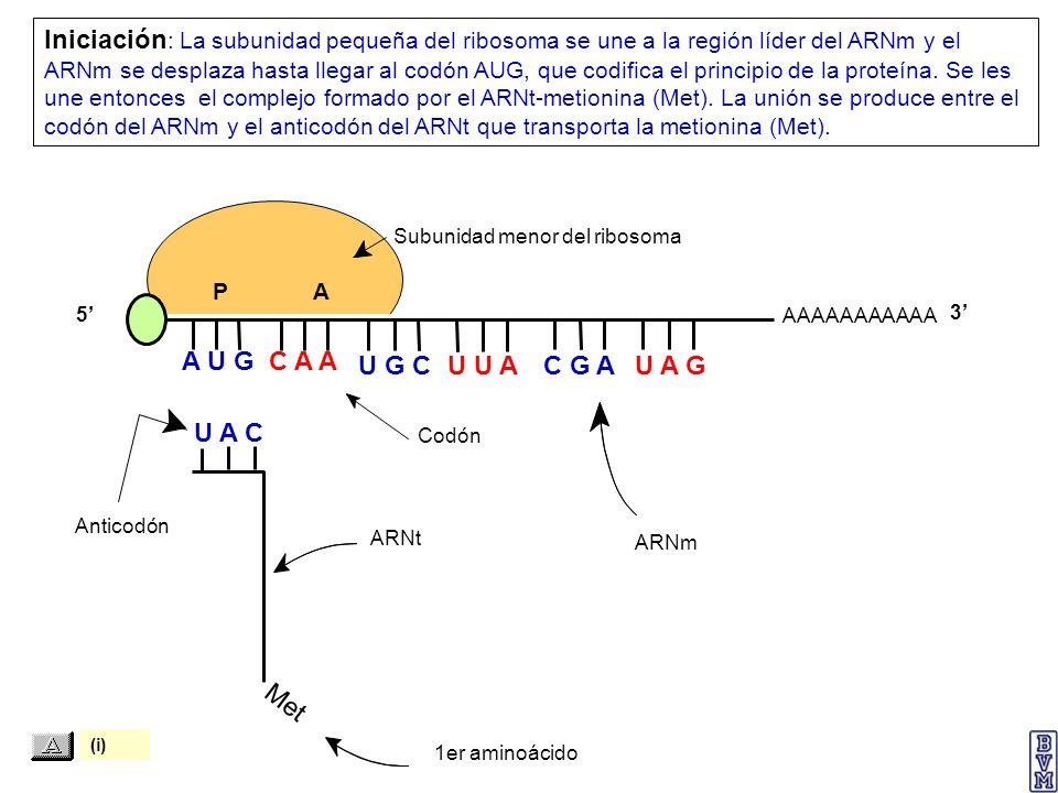 Iniciación: La subunidad pequeña del ribosoma se une a la región líder del ARNm y el ARNm se desplaza hasta llegar al codón AUG, que codifica el principio de la proteína. Se les une entonces el complejo formado por el ARNt-metionina (Met). La unión se produce entre el codón del ARNm y el anticodón del ARNt que transporta la metionina (Met).