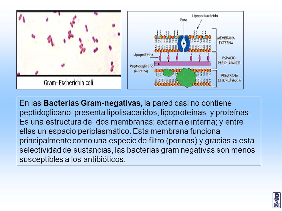 En las Bacterias Gram-negativas, la pared casi no contiene peptidoglicano; presenta lipolisacaridos, lipoproteínas y proteínas: Es una estructura de dos membranas: externa e interna; y entre ellas un espacio periplasmático.