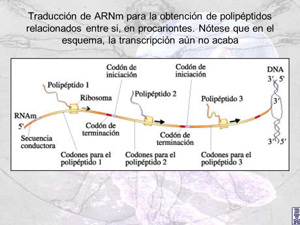 Traducción de ARNm para la obtención de polipéptidos relacionados entre si, en procariontes.