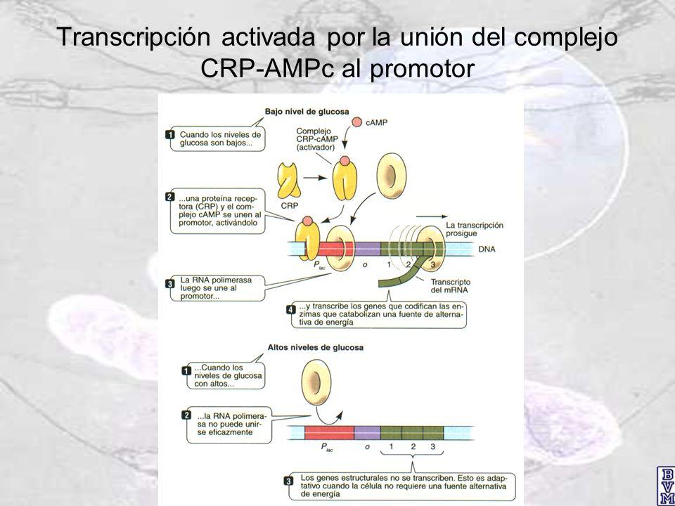Transcripción activada por la unión del complejo CRP-AMPc al promotor