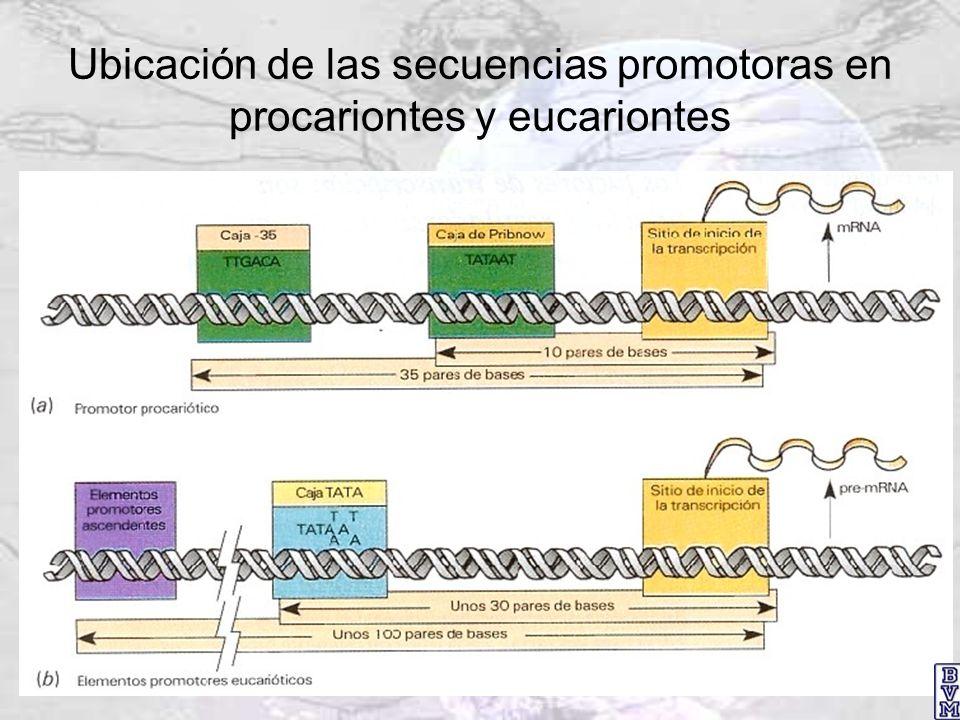 Ubicación de las secuencias promotoras en procariontes y eucariontes