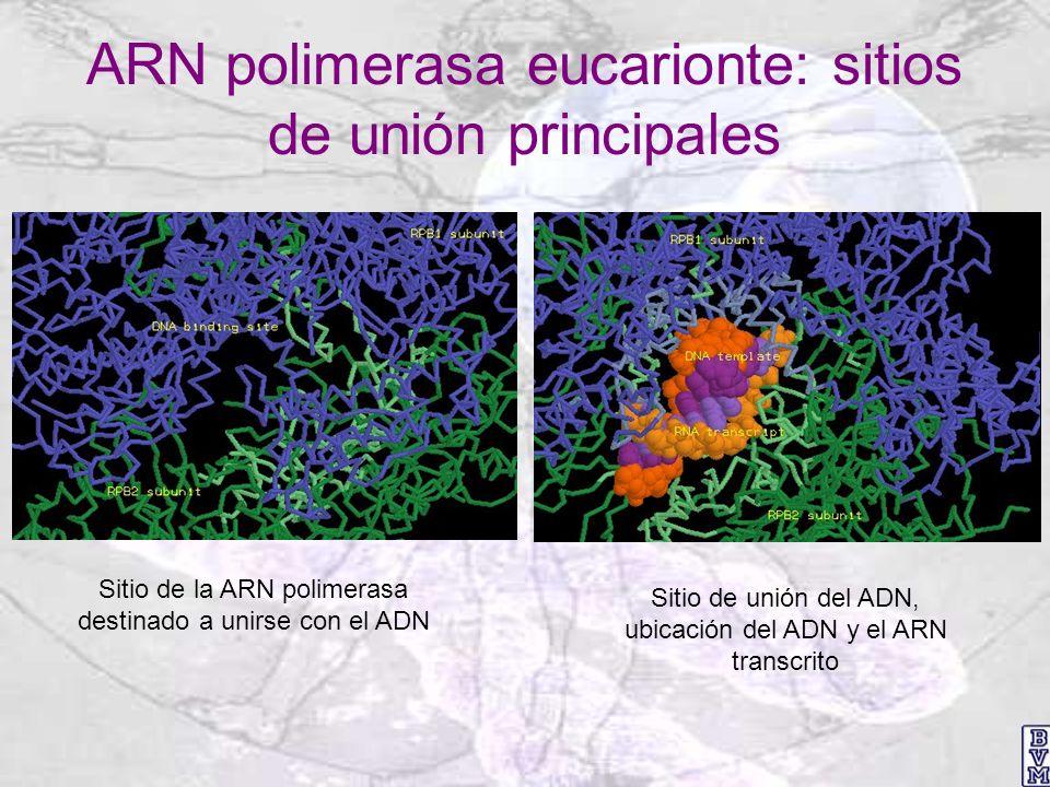 ARN polimerasa eucarionte: sitios de unión principales