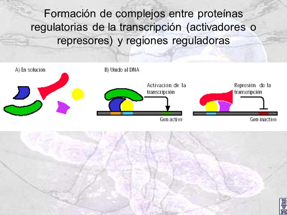 Formación de complejos entre proteínas regulatorias de la transcripción (activadores o represores) y regiones reguladoras