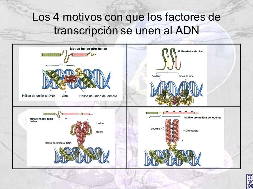 Los 4 motivos con que los factores de transcripción se unen al ADN