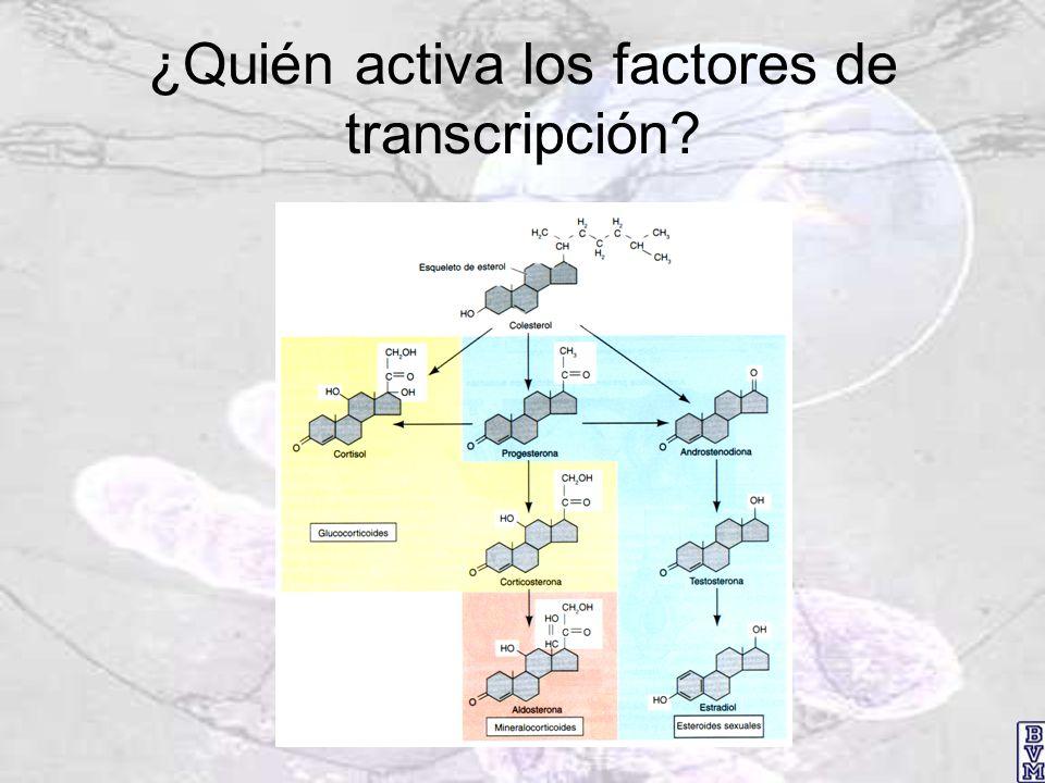 ¿Quién activa los factores de transcripción