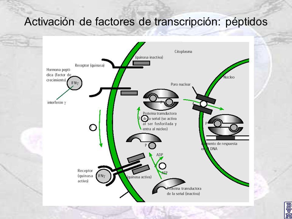 Activación de factores de transcripción: péptidos