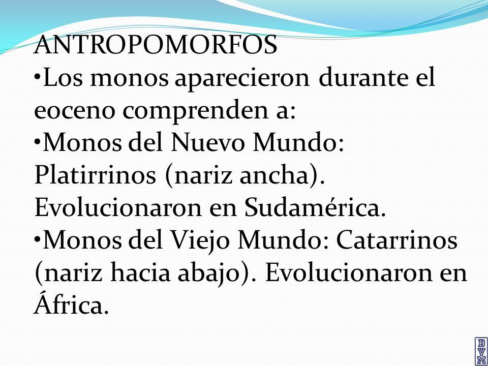 ANTROPOMORFOS •Los monos aparecieron durante el eoceno comprenden a: •Monos del Nuevo Mundo: Platirrinos (nariz ancha). Evolucionaron en Sudamérica.