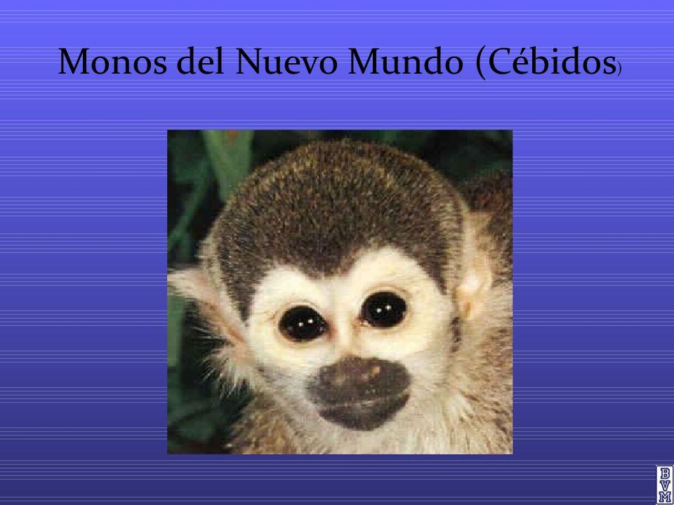 Monos del Nuevo Mundo (Cébidos)