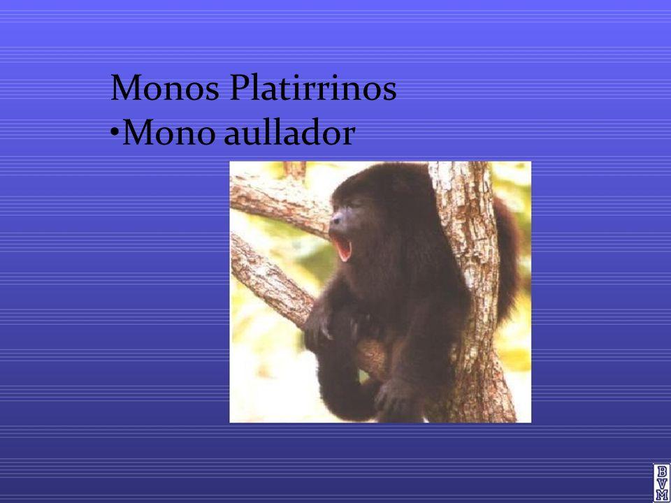 Monos Platirrinos •Mono aullador
