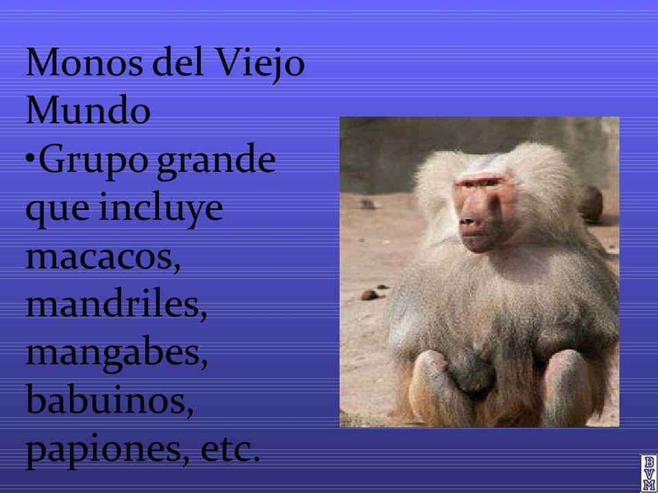 Monos del Viejo Mundo •Grupo grande que incluye macacos, mandriles, mangabes, babuinos, papiones, etc.