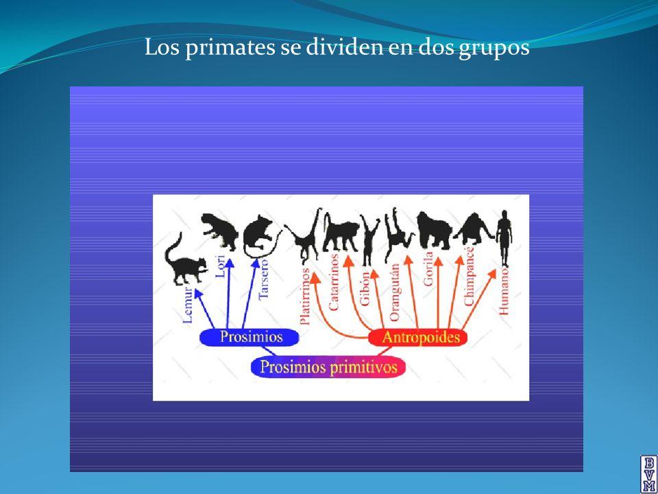 Los primates se dividen en dos grupos