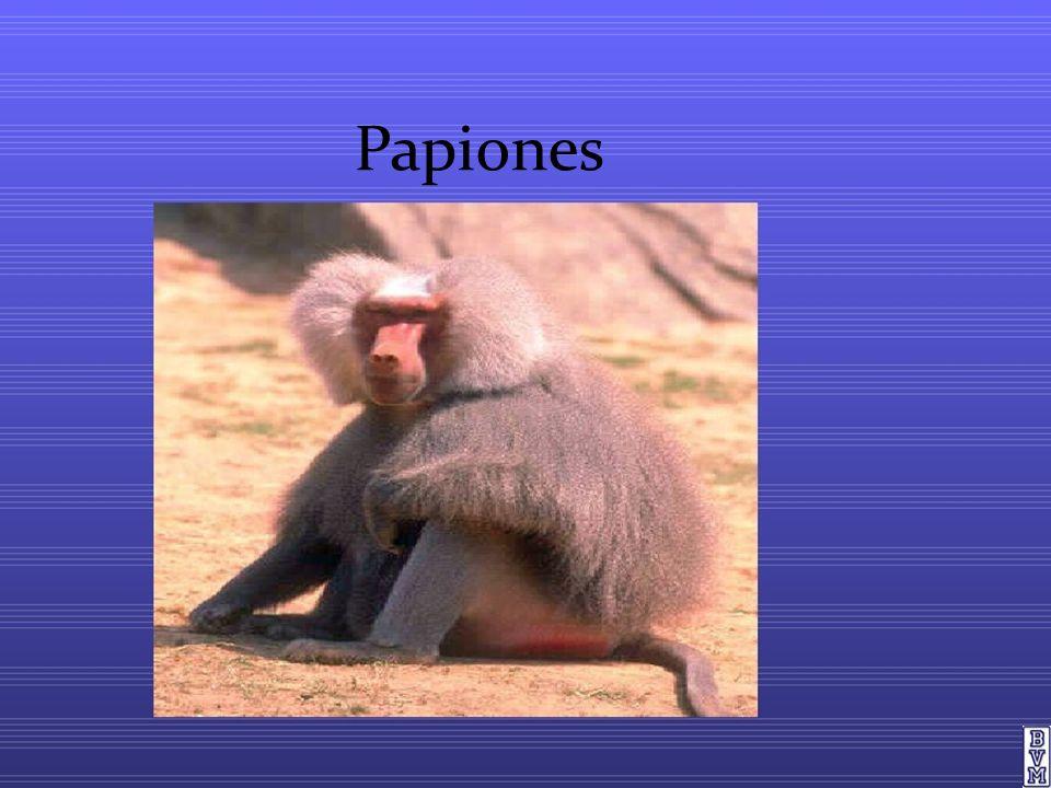 Papiones