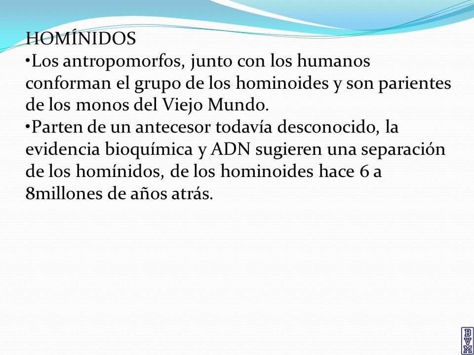 HOMÍNIDOS •Los antropomorfos, junto con los humanos conforman el grupo de los hominoides y son parientes de los monos del Viejo Mundo.