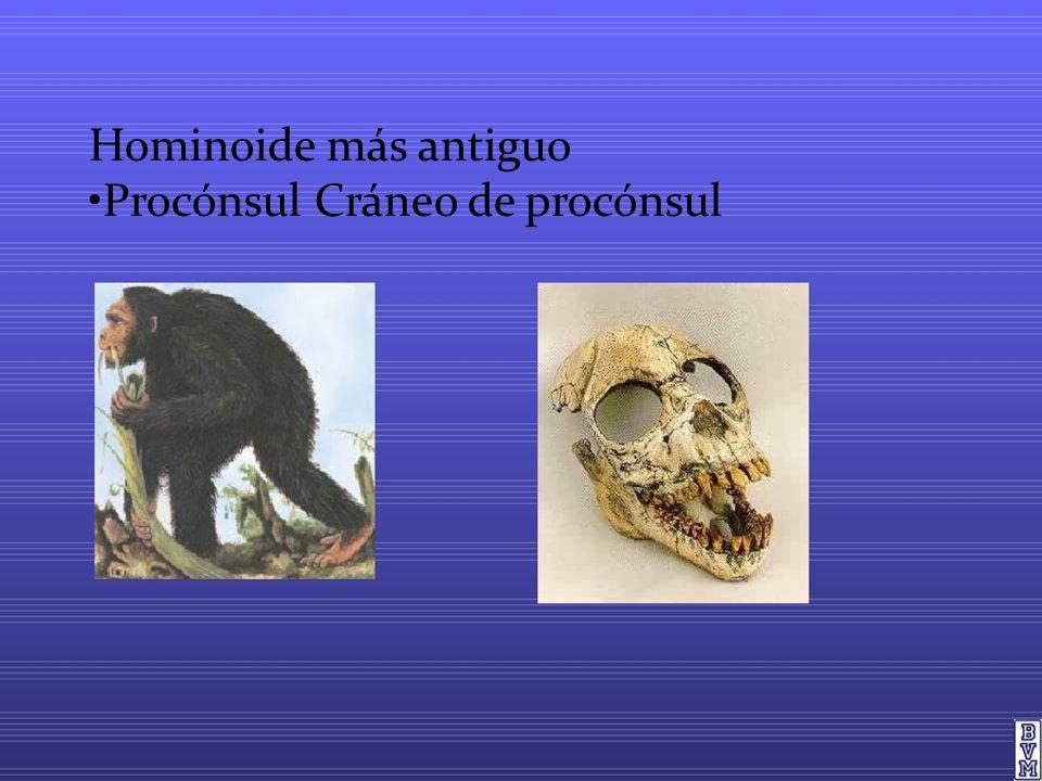 Hominoide más antiguo •Procónsul Cráneo de procónsul