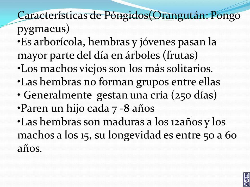 Características de Póngidos(Orangután: Pongo pygmaeus)