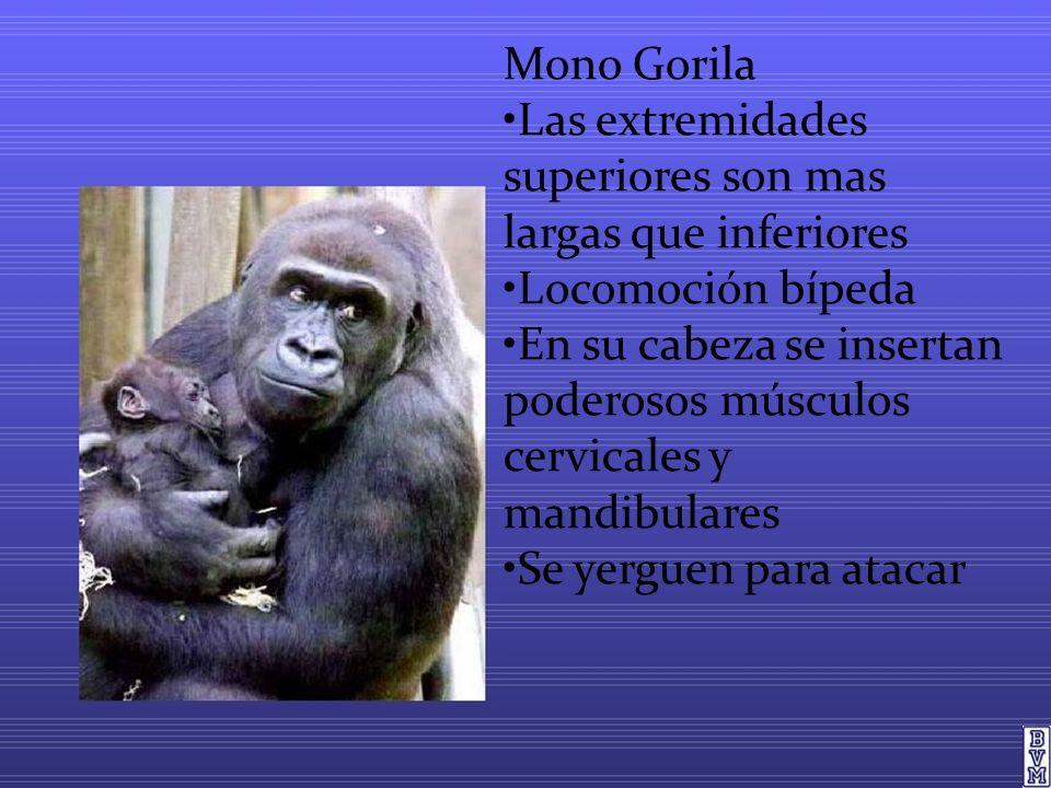 Mono Gorila •Las extremidades superiores son mas largas que inferiores. •Locomoción bípeda.