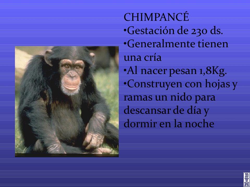 CHIMPANCÉ •Gestación de 230 ds. •Generalmente tienen una cría. •Al nacer pesan 1,8Kg.