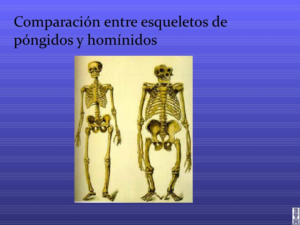 Comparación entre esqueletos de póngidos y homínidos