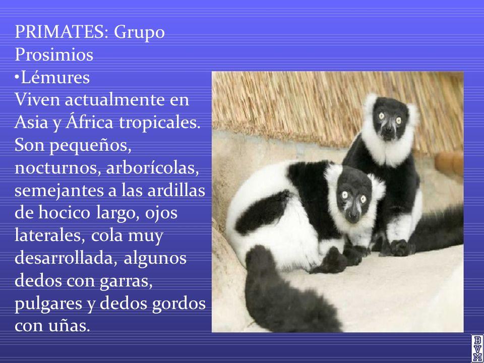 PRIMATES: Grupo Prosimios •Lémures Viven actualmente en Asia y África tropicales.