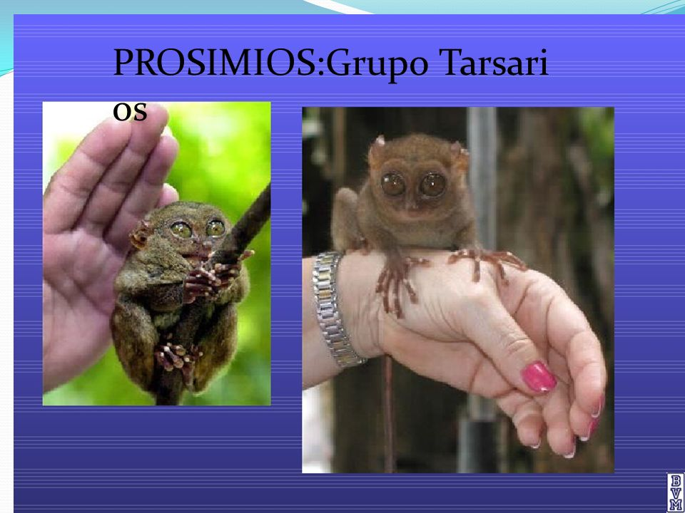 PROSIMIOS:Grupo Tarsarios