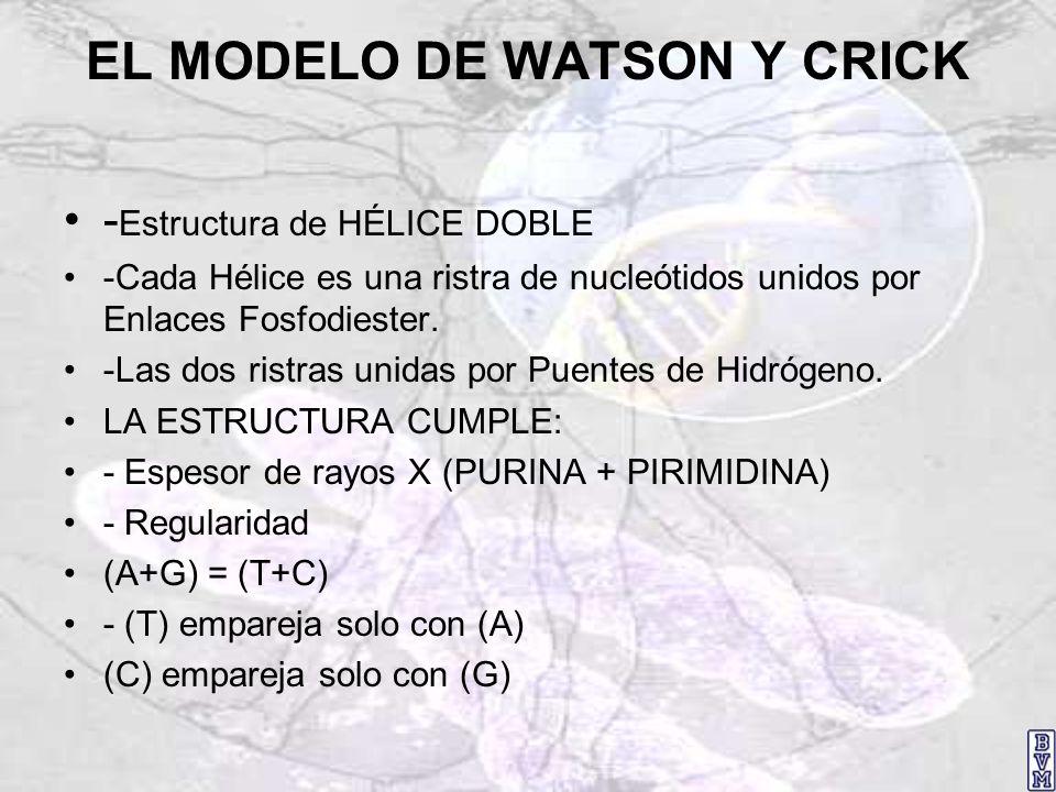 EL MODELO DE WATSON Y CRICK