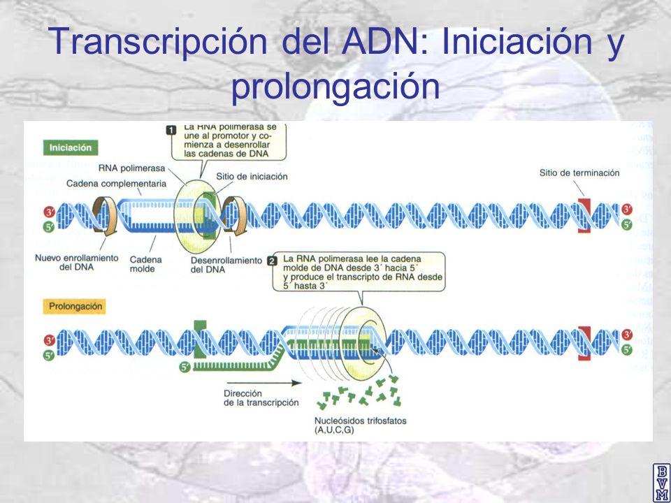 Transcripción del ADN: Iniciación y prolongación