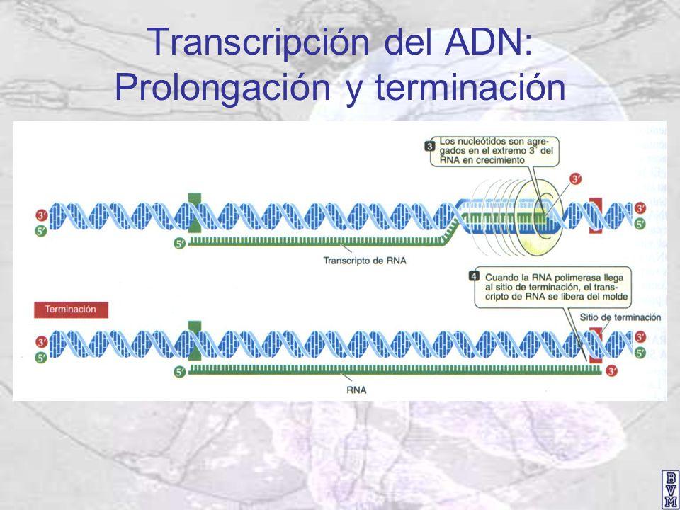 Transcripción del ADN: Prolongación y terminación