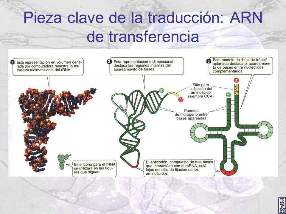 Pieza clave de la traducción: ARN de transferencia