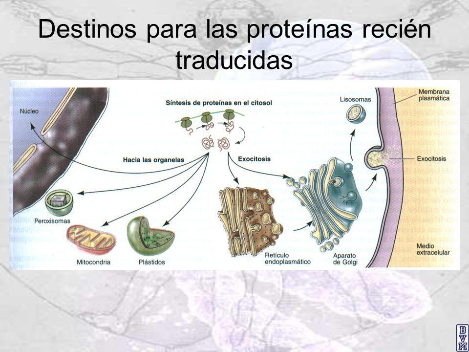 Destinos para las proteínas recién traducidas