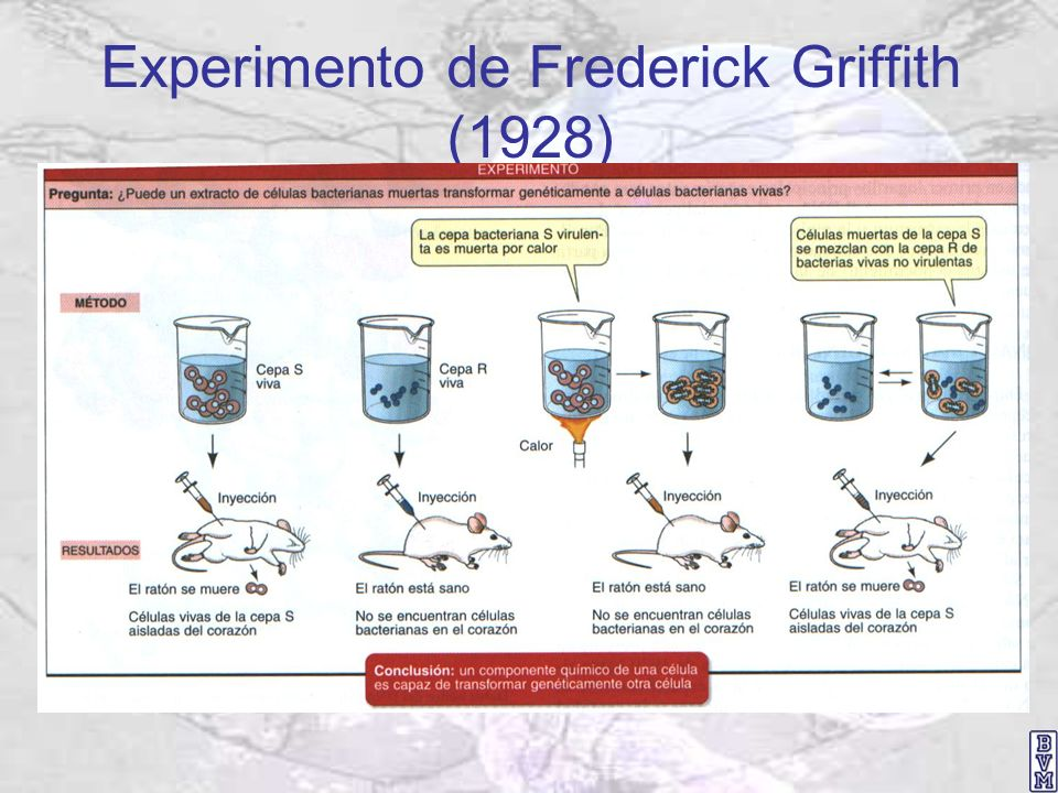 Experimento de Frederick Griffith (1928)