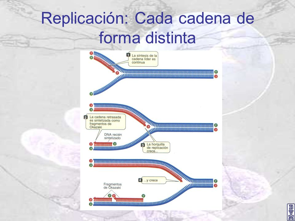 Replicación: Cada cadena de forma distinta