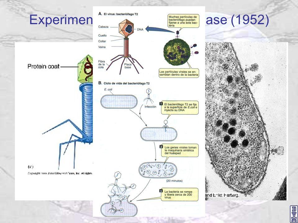 Experimento de Hershey y Chase (1952)