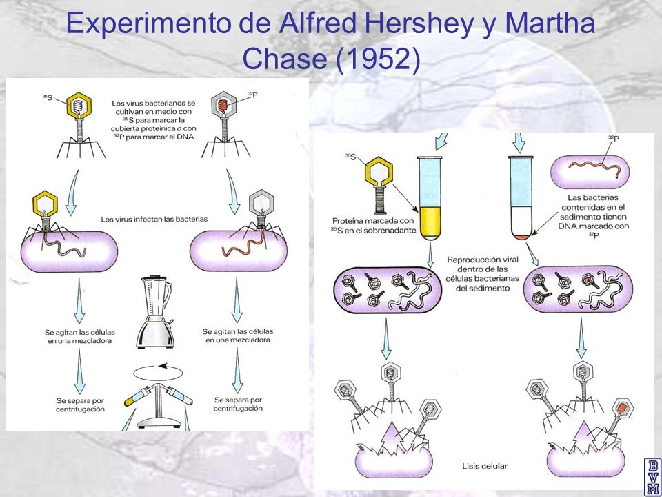 Experimento de Alfred Hershey y Martha Chase (1952)
