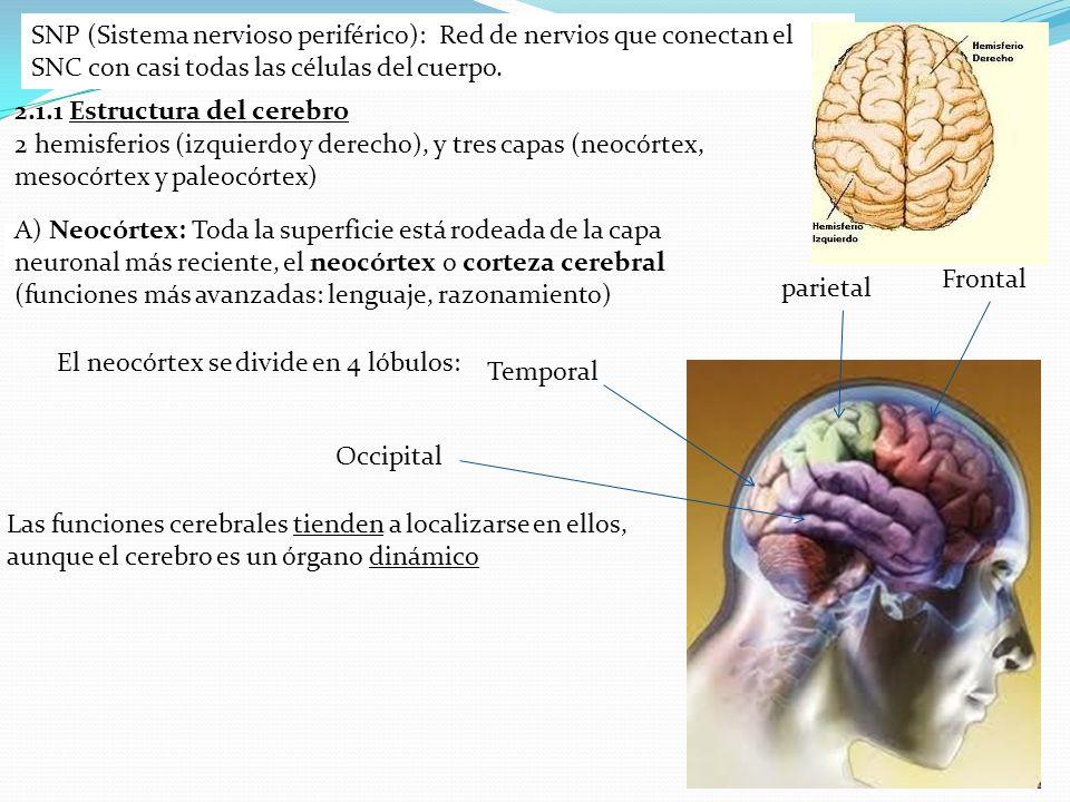 SNP (Sistema nervioso periférico): Red de nervios que conectan el SNC con casi todas las células del cuerpo.