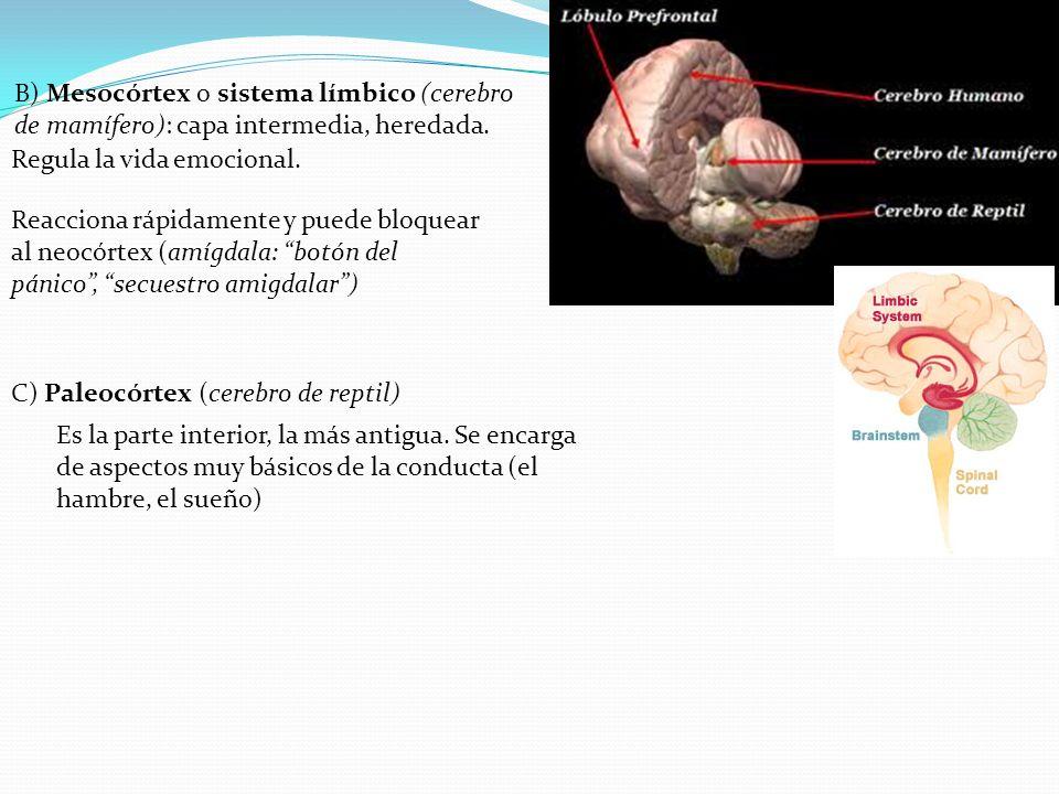 B) Mesocórtex o sistema límbico (cerebro de mamífero): capa intermedia, heredada.