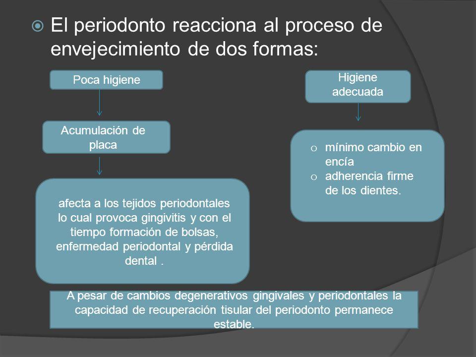 El periodonto reacciona al proceso de envejecimiento de dos formas: