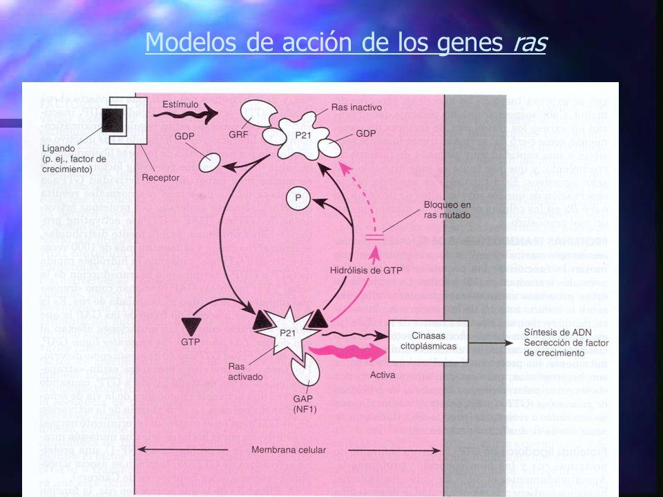 Modelos de acción de los genes ras