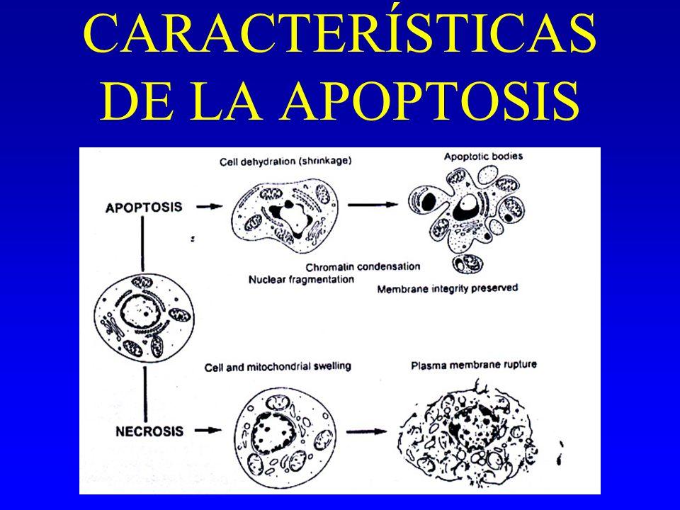 CARACTERÍSTICAS DE LA APOPTOSIS