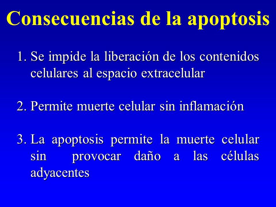 Consecuencias de la apoptosis