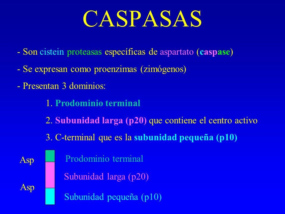 CASPASAS - Son cistein proteasas específicas de aspartato (caspase)