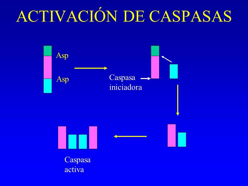 ACTIVACIÓN DE CASPASAS