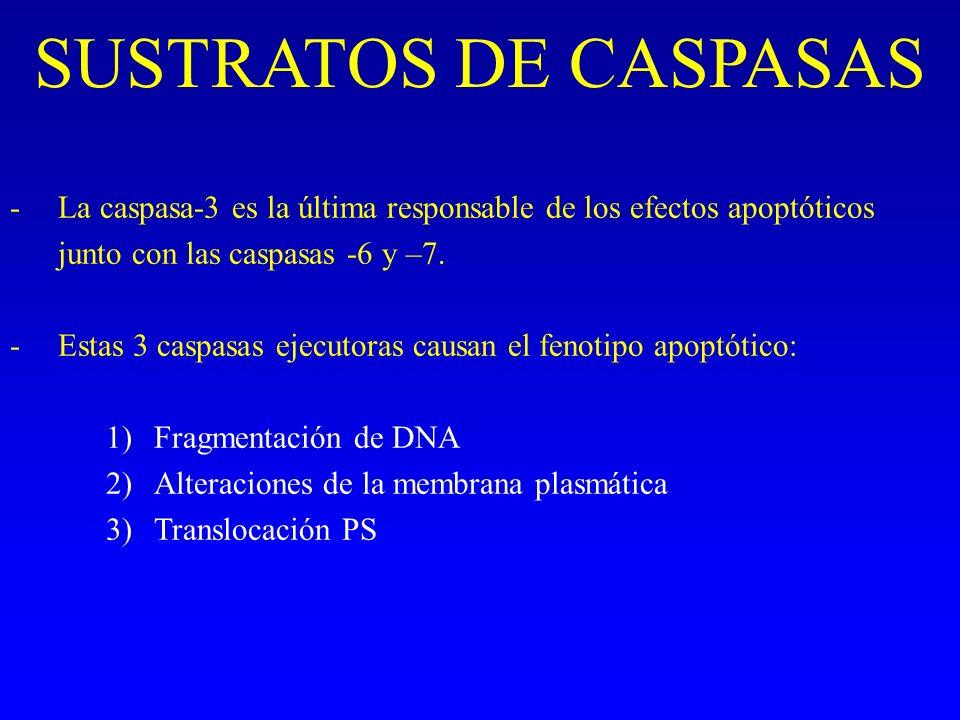 SUSTRATOS DE CASPASAS La caspasa-3 es la última responsable de los efectos apoptóticos junto con las caspasas -6 y –7.