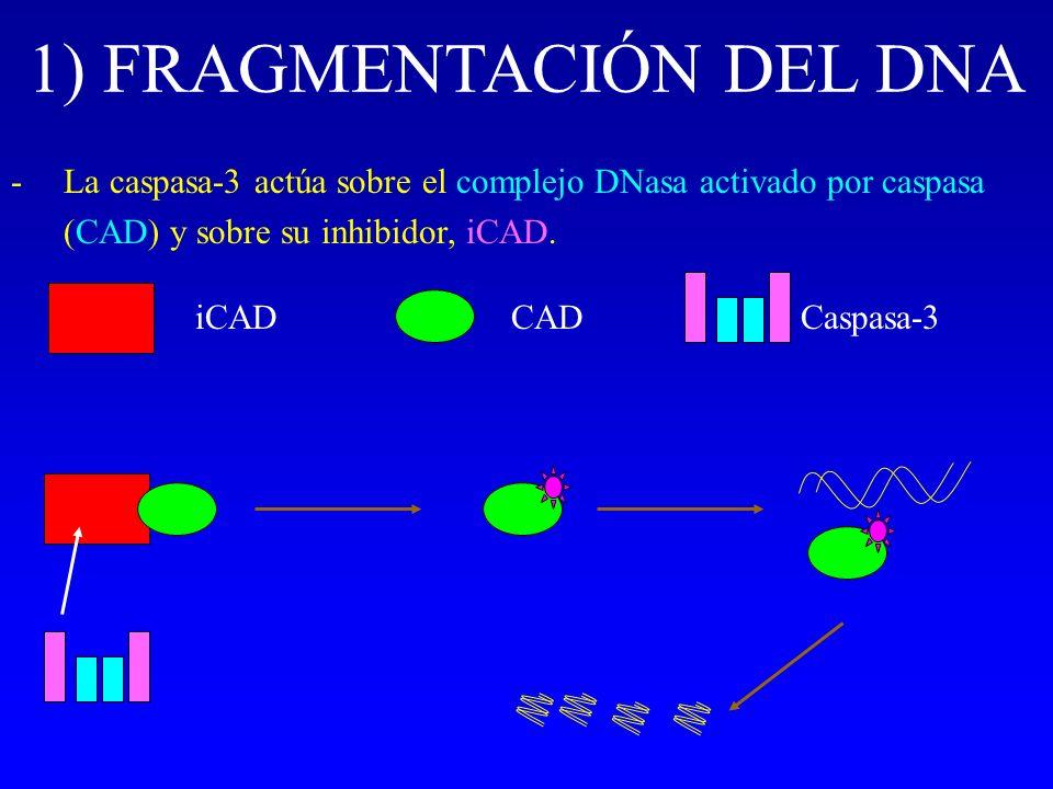 1) FRAGMENTACIÓN DEL DNA