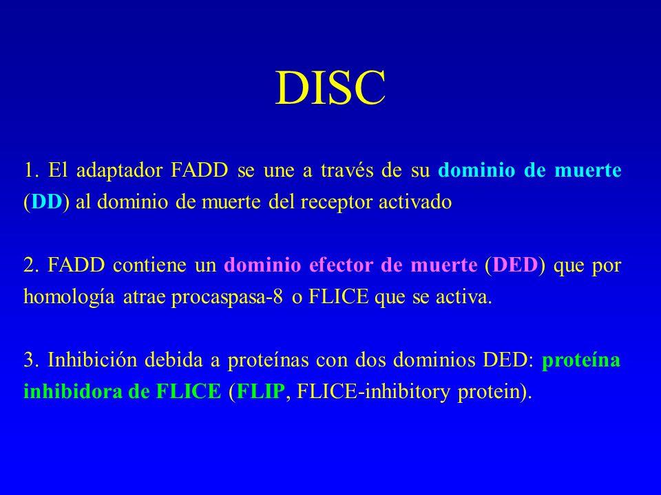 DISC 1. El adaptador FADD se une a través de su dominio de muerte (DD) al dominio de muerte del receptor activado.