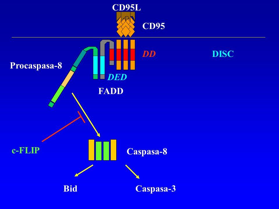 CD95L CD95 DD DISC Procaspasa-8 DED FADD c-FLIP Caspasa-8 Bid Caspasa-3