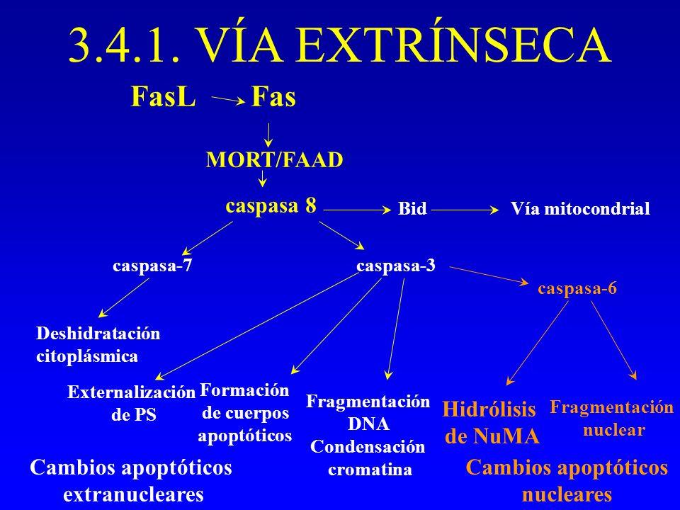 3.4.1. VÍA EXTRÍNSECA FasL Fas MORT/FAAD caspasa 8 Hidrólisis de NuMA