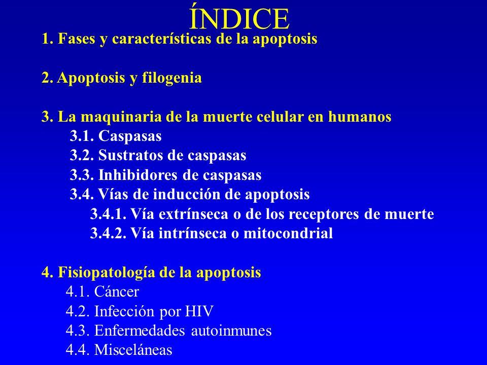 ÍNDICE 1. Fases y características de la apoptosis